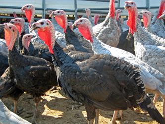Turkeys on farm 3 250