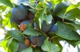 plums harvest 2012