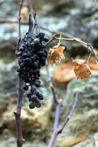 50 Freinsheim, last grapes