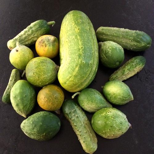 cucumber harvest 2014-1