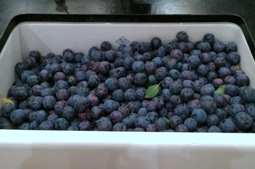 plum harvest 2014 halfway-1