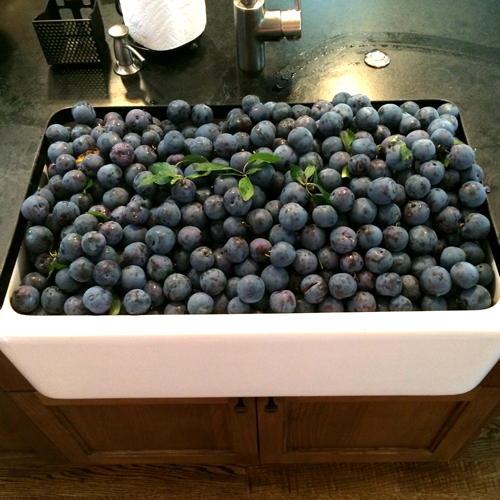 plum harvest in sink-1