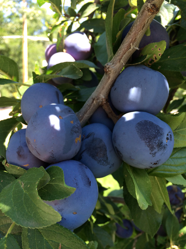 plums on tree 2014-1