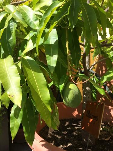 san-juan-puerto-rico-hotel-el-convento-mango-tree