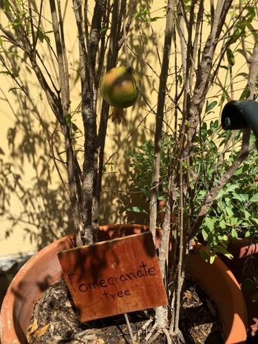 san-juan-puerto-rico-hotel-el-convento-pomegranate-tree