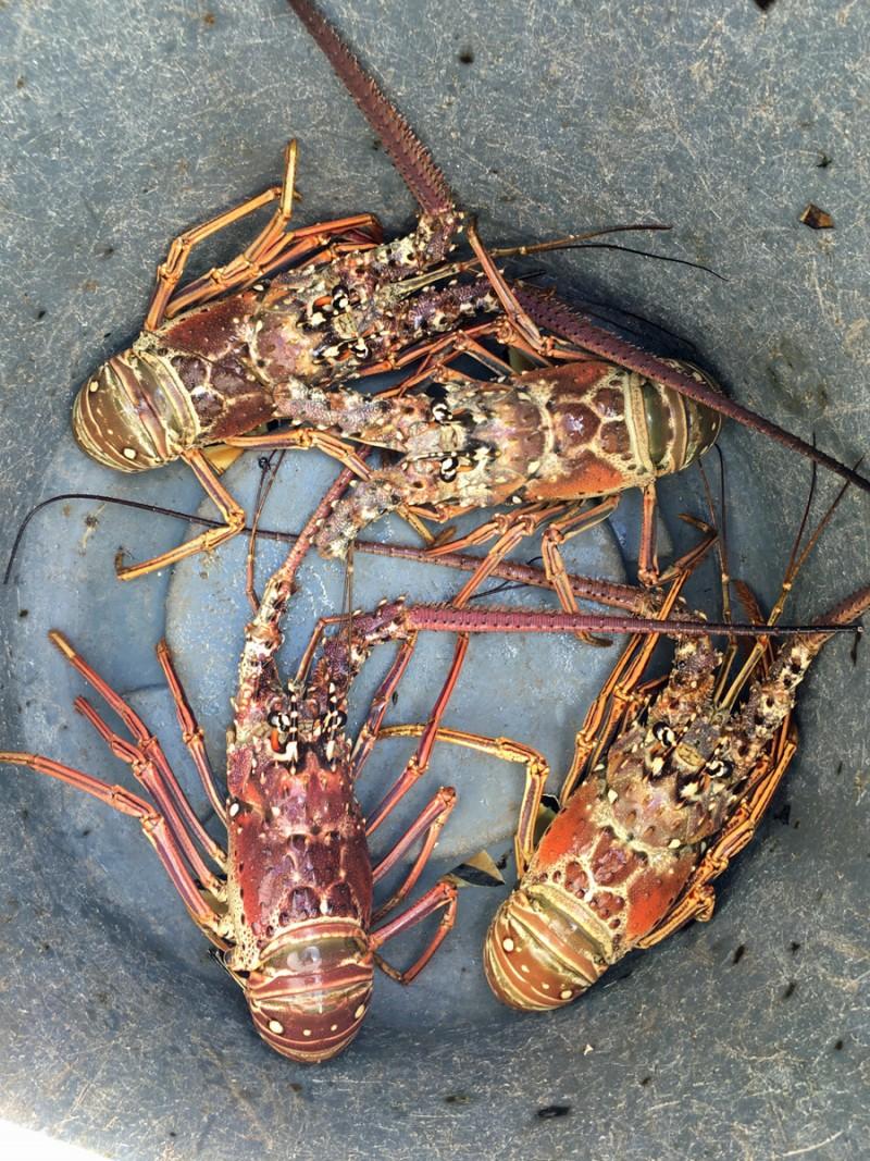 caribbean-bvi-andgada-spiny-lobster