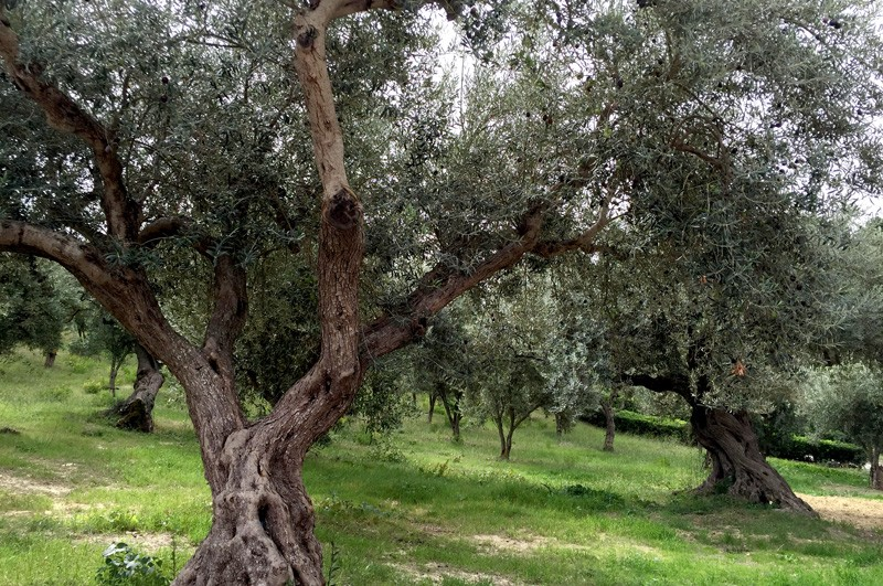 pianogrillo-italy-olive-trees