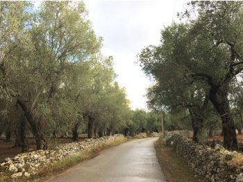 salento-puglia-italy-back-roads-olive-groves-stone-walls