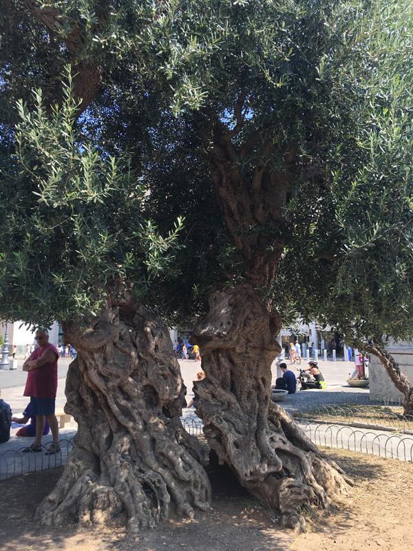 salento-puglia-italy-olive-tree-in-piazza-sant-oronzo