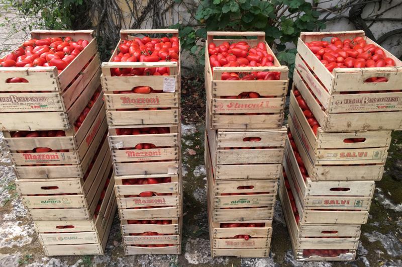 salento-puglia-italy-tomatoes-for-sauce