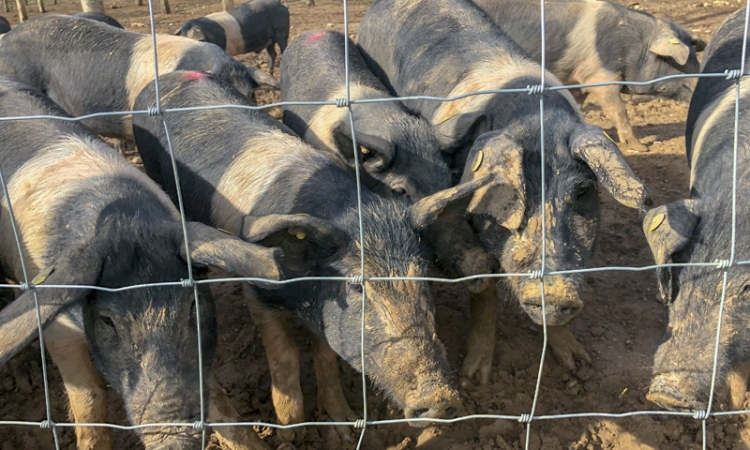Tuscan Gastronomic Tour, Part I: Cinta Senese Pigs